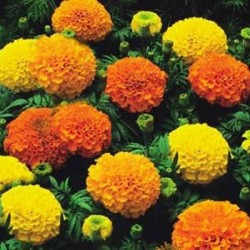 African Marigold Sunspot Mix 100 seeds