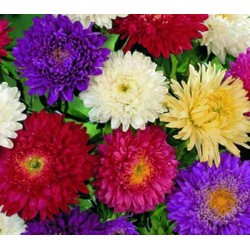 Aster Super Princess Mix 150 seeds