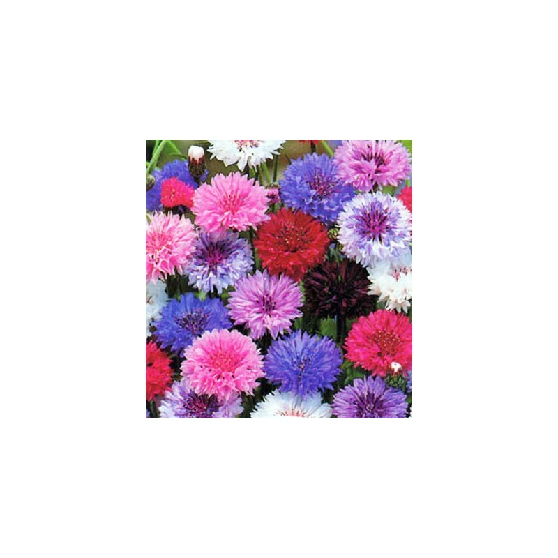 Cornflower Cown Double Mixed 100 seeds