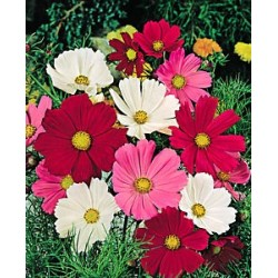 Cosmos Sensation Mix 75 seeds