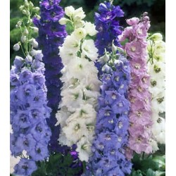 Delphinium Crown Pacific Mix 50 seeds