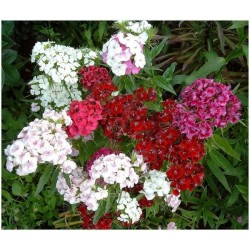 Dianthus, Sweet William Double Mixed 500 seeds