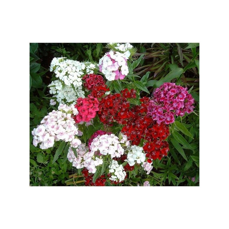Dianthus sweet william double mixed 500 seeds mightylinksfo