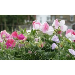 Dwarf Sweet Pea Cupid Mix 40 seeds