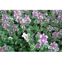 English Winter Thyme 2000 seeds