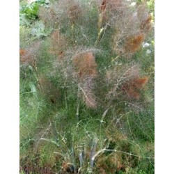 Fennel Bronze 100 seeds