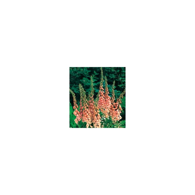 Foxglove Apricot Delight 600 seeds