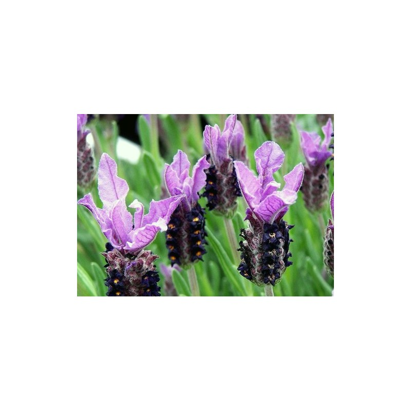 French Lavender 100 seeds