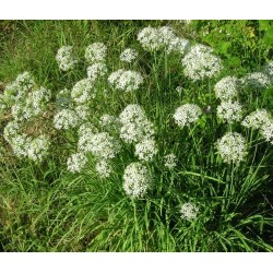 Garlic/Chinese Chives 100 seeds