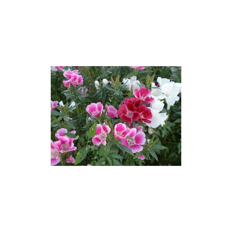 Godetia Crown Double Mix 1000 seeds