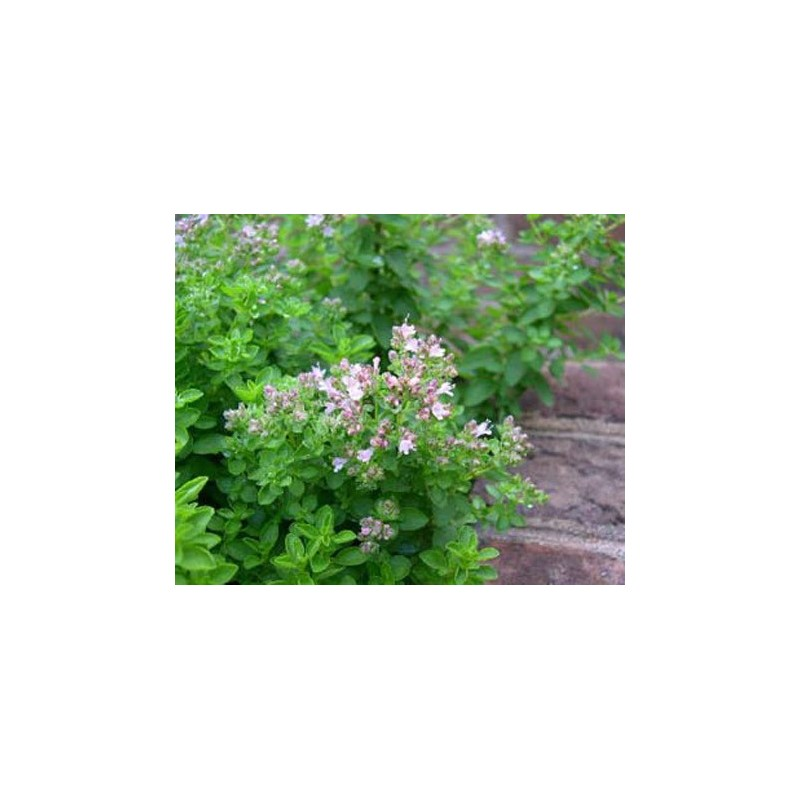 Greek Oregano 1500 seeds