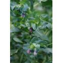 Honeywort, Cerinthe, Major purpurascens 8 seeds