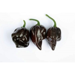 Hot Pepper - Chocolate Habanero 10 seeds