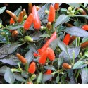 Hot Pepper - Demon Red 8 seeds