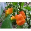 Hot Pepper - Habanero Orange 25 seeds