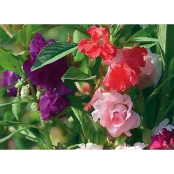 Balsam Dwarf Bush Flowered Mix 100 seeds