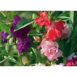 Balsam Dwarf Bush Flowered...