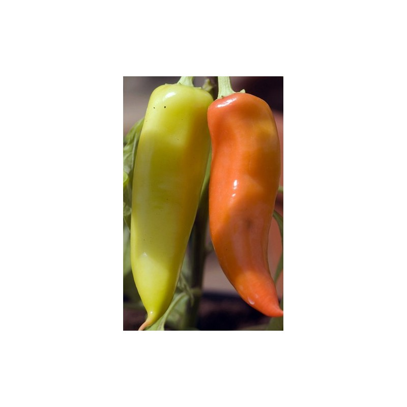 Hot Pepper - Hungarian Hot Wax 50 seeds