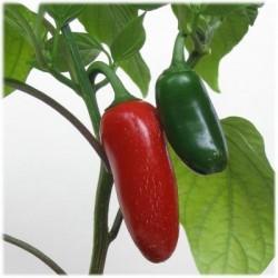 Hot Pepper - Jalapeno 50 seeds