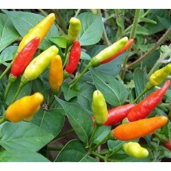 Hot Pepper - Prairie Fire 10 seeds