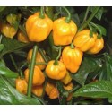 Hot Pepper - Scotch Bonnet Yellow 40 seeds