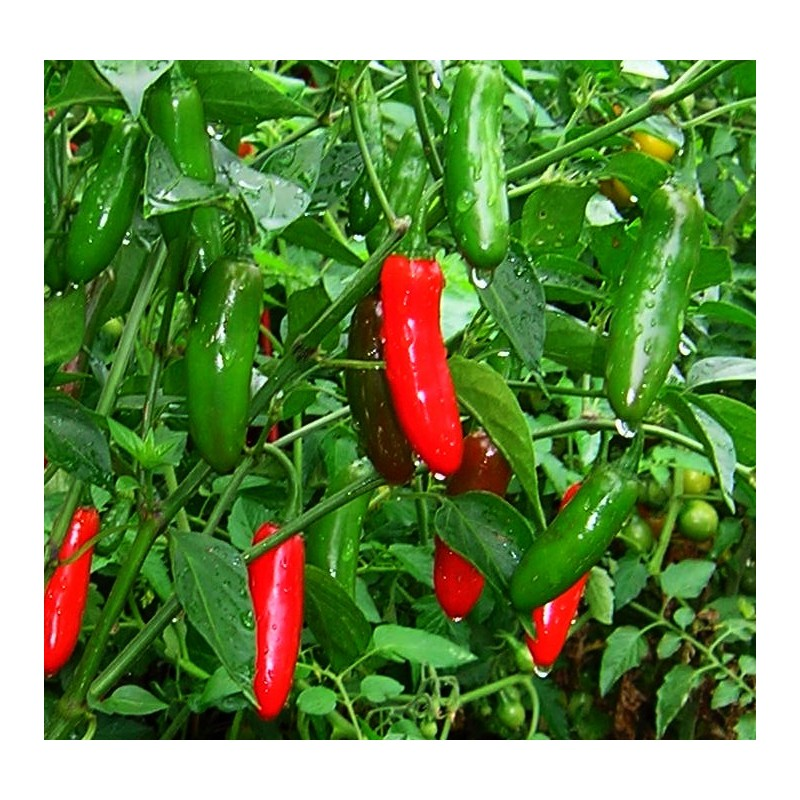 Hot Pepper - Serrano 50 seeds