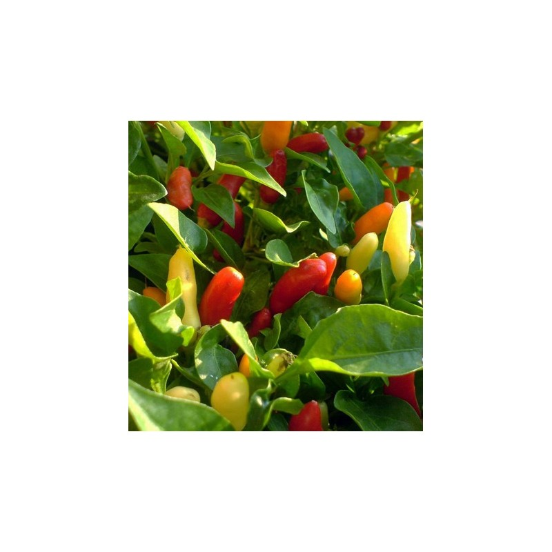 Hot Pepper - Tabasco 10 seeds