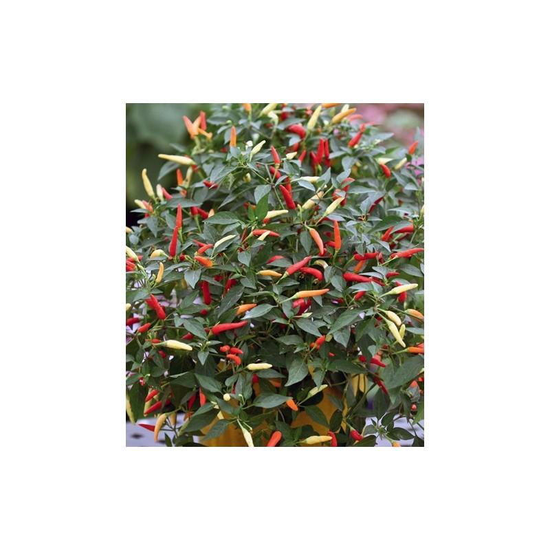 Hot Pepper Basket of Fire F1 8 seeds