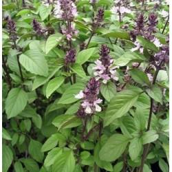 Basil Cinnamon 200 seeds