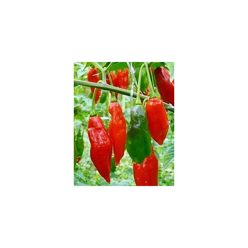 Hot Pepper Paper Lantern 10 seeds