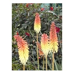 Kniphofia, Torch Lilly 40 seeds