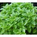 Basil Greek 500 seeds