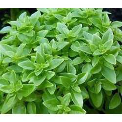 Basil Greek 500 seeds