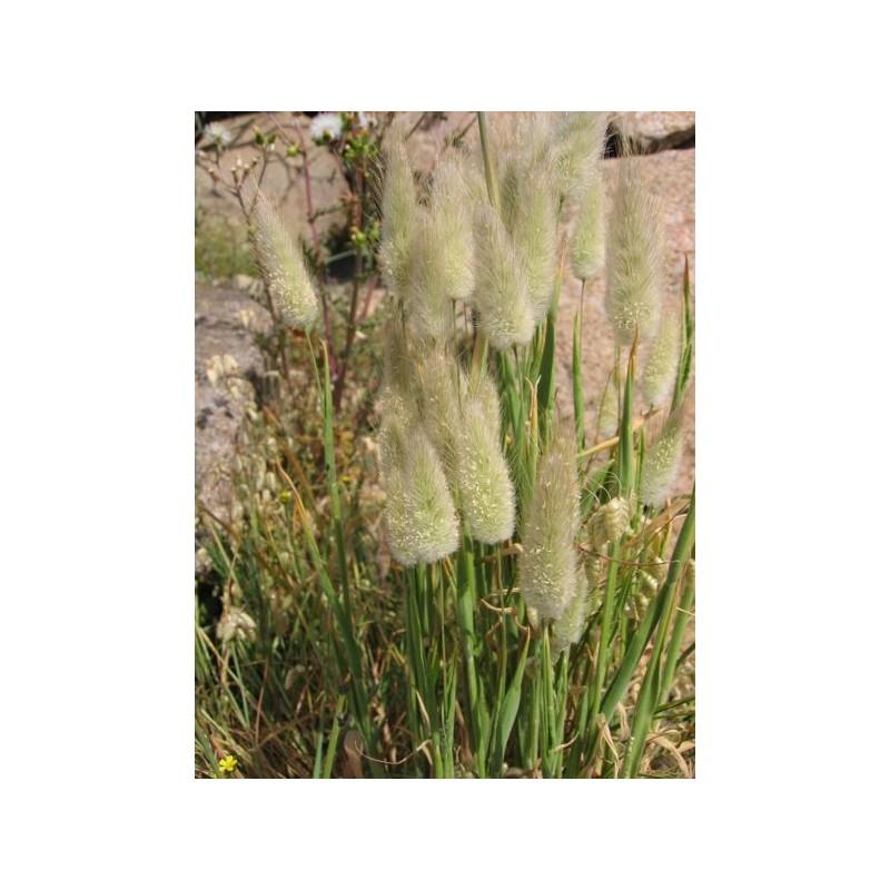 Lagurus Ovatus Hare's Tail 100 seeds