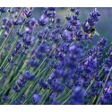 Lavender Vera 300 seeds