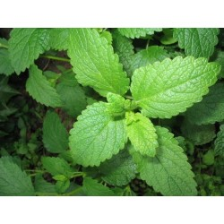 Lemon Balm 500 seeds