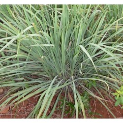 Lemon grass 100 seeds