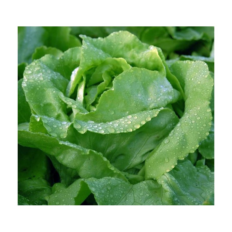 Lettuce Arctic King 500 seeds