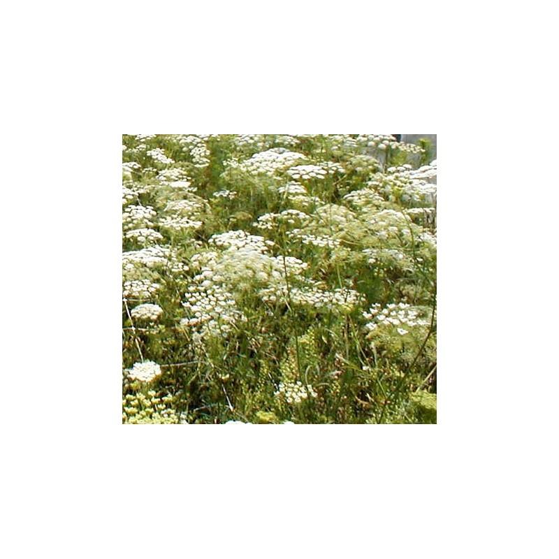 Ammi Majus 1500 seeds