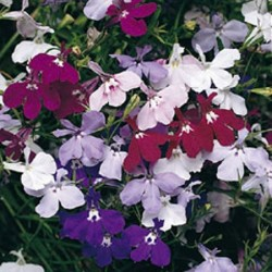 Lobelia Fountain Mix 2000 seeds