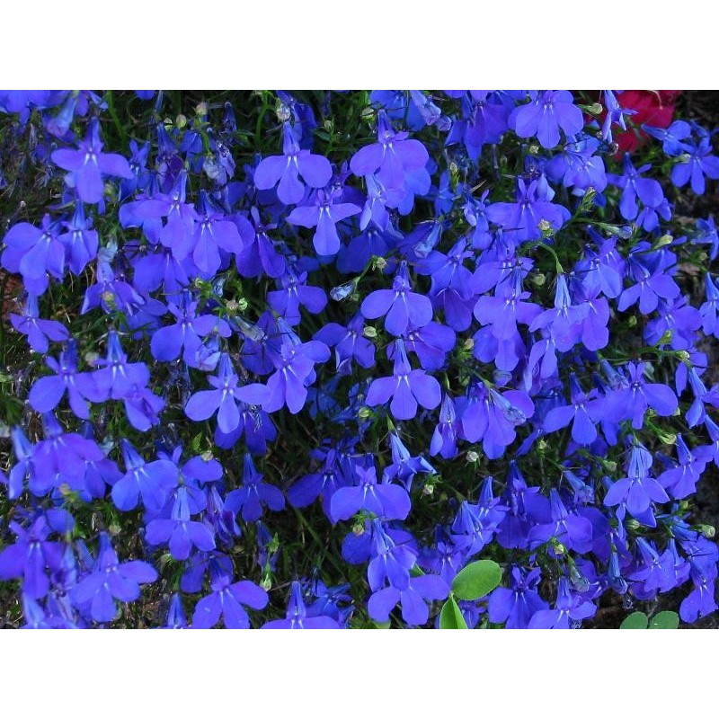 Crystal Palace Lobelia Seeds Buy Lobelia Seeds At 99p Online