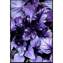 Basil Purple Ruffles 200 seeds