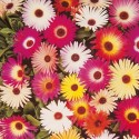 Mesembryanthemum Harlequin Mix 2000 seeds