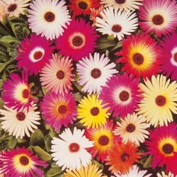 Mesembryanthemum Harlequin Mix 2000 seeds