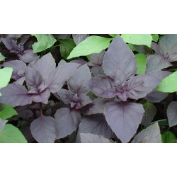 Basil Red Dark Opal 200 seeds