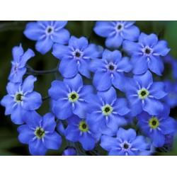 Myosotis Ultramarine 300 seeds