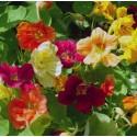 Nasturtium Jewel Mix 30 seeds