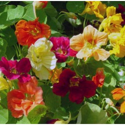 Nasturtium Jewel Mix 30 seeds