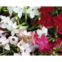 Nicotiana Sensation Mixed 1500 seeds