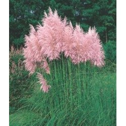 Pampas Grass Pink Feather...